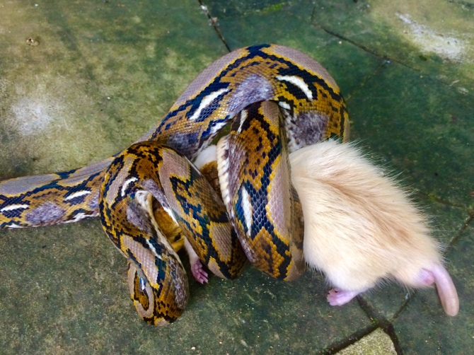 Reticulated python eats rat